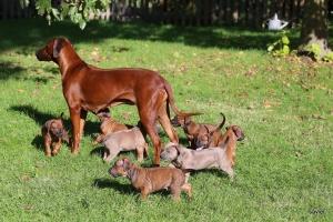 Rhodesian Ridgeback Puppies 2016